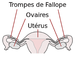 SPCF.FR : Les ovaires du corps humain