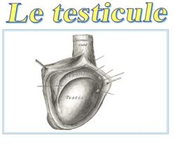 SPCF.FR : Le testicule du corps humain