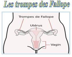 SPCF.FR : La trompe de Fallope du corps humain